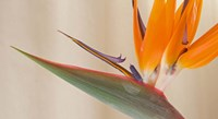 Strelitzia in bloom, California by Panoramic Images - various sizes