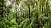 Trees in tropical rainforest, Eungella National Park, Mackay, Queensland, Australia Fine Art Print