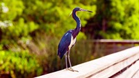 Close-up of an blue egret, Boynton Beach, Florida, USA by Panoramic Images - various sizes