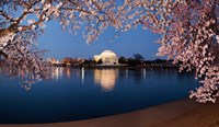 Cherry Blossom Tree with Jefferson Memorial, Washington DC Framed Print