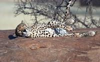 Cheetah, Ndutu, Ngorongoro, Tanzania by Panoramic Images - various sizes