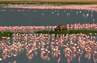 Cape Buffalo Grazing among Flamingos by Panoramic Images - various sizes, FulcrumGallery.com brand