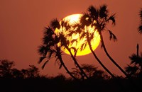 Sunrise behind silhouetted trees, Kenya, Africa Fine Art Print