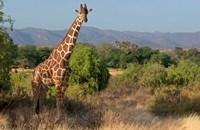 Giraffe walking across plain, Kenya by Panoramic Images - various sizes - $54.99