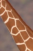 Reticulated giraffe (Giraffa camelopardalis reticulata) neck, Samburu National Park, Rift Valley Province, Kenya by Panoramic Images - various sizes, FulcrumGallery.com brand