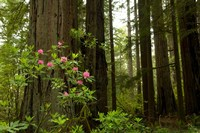 Redwood trees and rhododendron flowers in a forest, Del Norte Coast Redwoods State Park, Del Norte County, California, USA Fine Art Print