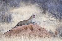 Leopard (Panthera pardus) yawning on a termite mound, Kenya Fine Art Print