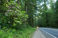 Redwood trees and Rhododendron flowers in a forest, U.S. Route 199, Del Norte County, California, USA Fine Art Print