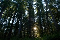 Redwood trees in a forest, Del Norte Coast Redwoods State Park, Del Norte County, California, USA by Panoramic Images - various sizes