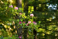 Rhododendron flowers in a forest, Del Norte Coast Redwoods State Park, Del Norte County, California, USA Fine Art Print