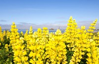 Yellow lupines in a field, Del Norte County, California, USA by Panoramic Images - various sizes