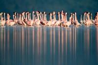 Flamingo Reflections in a lake, Lake Nakuru, Lake Nakuru National Park, Kenya Fine Art Print