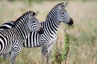 Two Burchell's zebras (Equus burchelli) in a forest, Tarangire National Park, Tanzania by Panoramic Images - various sizes