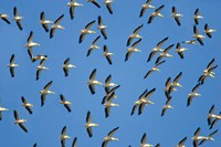 Flock of birds flying in the sky by Panoramic Images - various sizes - $54.99