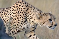 Cheetah on the Prowl, Ngorongoro Conservation Area, Arusha Region, Tanzania by Panoramic Images - various sizes