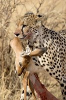 Cheetahs (Acinonyx jubatus) and Prey, Samburu National Park, Rift Valley Province, Kenya by Panoramic Images - various sizes