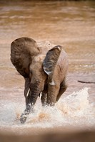 African elephant (Loxodonta africana) playing with water, Samburu National Park, Rift Valley Province, Kenya by Panoramic Images - various sizes