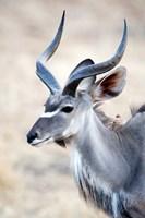 Greater Kudu (Tragelaphus strepsiceros) in a forest, Samburu National Park, Rift Valley Province, Kenya Fine Art Print