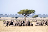 African Elephants in Masai Mara National Reserve, Kenya by Panoramic Images - various sizes