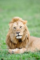 Lion (Panthera leo) lying in grass, Masai Mara National Reserve, Kenya by Panoramic Images - various sizes