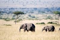 African elephants (Loxodonta africana) walking in plains, Masai Mara National Reserve, Kenya by Panoramic Images - various sizes