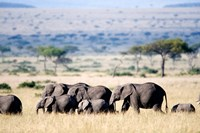 Herd of African elephants (Loxodonta africana) in plains, Masai Mara National Reserve, Kenya by Panoramic Images - various sizes
