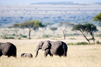 African elephant (Loxodonta africana) with its calf walking in plains, Masai Mara National Reserve, Kenya by Panoramic Images - various sizes