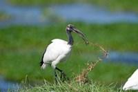 Sacred ibis (Threskiornis aethiopicus) in a field, Ngorongoro Crater, Ngorongoro, Tanzania by Panoramic Images - various sizes - $54.99