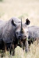 Black rhinoceros (Diceros bicornis) standing in a field, Masai Mara National Reserve, Kenya by Panoramic Images - various sizes - $54.99