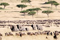 Wildebeests with African elephants (Loxodonta africana) in a field, Masai Mara National Reserve, Kenya Fine Art Print