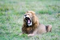Lion (Panthera leo) yawning in a field, Ngorongoro Crater, Ngorongoro, Tanzania by Panoramic Images - various sizes, FulcrumGallery.com brand