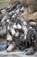 Herd of wildebeests crossing a river, Mara River, Masai Mara National Reserve, Kenya Fine Art Print