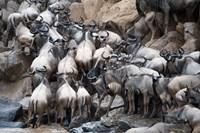 Wildebeests, Masai Mara National Reserve, Kenya Fine Art Print