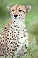 Close-up of a female cheetah (Acinonyx jubatus) in a forest, Ndutu, Ngorongoro, Tanzania by Panoramic Images - various sizes