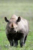 Black rhinoceros (Diceros bicornis) standing in a field, Ngorongoro Crater, Ngorongoro, Tanzania by Panoramic Images - various sizes - $54.99