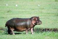 Hippopotamus (Hippopotamus amphibius) in a field, Ngorongoro Crater, Ngorongoro, Tanzania Fine Art Print