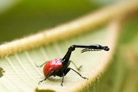 Close-up of a Giraffe Weevil (Trachelophorus giraffa) on a Leaf, Andasibe-Mantadia National Park, Madagascar by Panoramic Images - various sizes