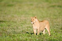 Lioness (Panthera leo) standing in a field, Ngorongoro Crater, Ngorongoro, Tanzania by Panoramic Images - various sizes, FulcrumGallery.com brand
