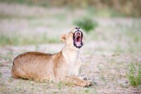 Lioness Yawning in a Forest, Tarangire National Park, Tanzania by Panoramic Images - various sizes, FulcrumGallery.com brand