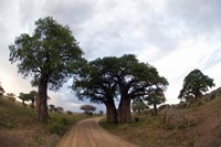 Baobab Trees (Adansonia digitata) in a forest, Tarangire National Park, Tanzania Fine Art Print