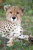 Head of a Cheetah, Ndutu, Ngorongoro, Tanzania by Panoramic Images - various sizes