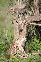 Cheetah cubs (Acinonyx jubatus) with their mother in a forest, Ndutu, Ngorongoro, Tanzania Fine Art Print