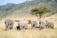 African Elephants (Loxodonta africana) in a Forest, Masai Mara National Reserve, Kenya by Panoramic Images - various sizes