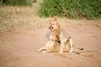 Lion pair (Panthera leo) mating in a field, Samburu National Park, Rift Valley Province, Kenya by Panoramic Images - various sizes, FulcrumGallery.com brand