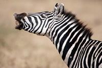 Close-up of a Burchell's zebra (Equus burchelli), Tarangire National Park, Tanzania by Panoramic Images - various sizes