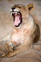 Close Up of Lioness (Panthera leo) Yawning in a Forest, Tarangire National Park, Tanzania by Panoramic Images - various sizes