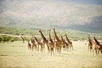Masai giraffes (Giraffa camelopardalis tippelskirchi) in a forest, Lake Manyara, Tanzania by Panoramic Images - various sizes