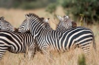 Burchell's zebras (Equus burchelli) in a forest, Tarangire National Park, Tanzania by Panoramic Images - various sizes, FulcrumGallery.com brand