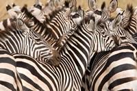 Burchell's Zebras, Tarangire National Park, Tanzania by Panoramic Images - various sizes, FulcrumGallery.com brand