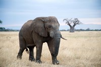 African elephant (Loxodonta africana) walking in a forest, Tarangire National Park, Tanzania by Panoramic Images - various sizes